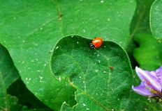 Ms.LadyBug. Ladybug resting on the leaf of my eggplant in the garden this morning. The ladybug provides a nice red contrast to the green of the leaves and Stock Images