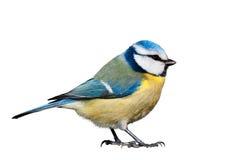 Mésange bleue d'isolement sur le fond blanc Image libre de droits