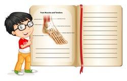 Músculos e tendões do pé na página Imagem de Stock Royalty Free