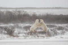 Męscy niedźwiedzie polarni Standng i Chwytać each inny podczas sparringu/Walczy Zdjęcia Royalty Free