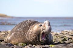 Męska Południowa słoń foka z śmiesznymi expres (Mirounga leonina) Fotografia Stock