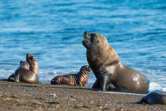 Męski dennego lwa foki portret na plaży Zdjęcia Royalty Free