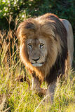Męski lew czaije się przez trawy Zdjęcia Royalty Free