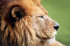 Męski lwa profil Fotografia Stock
