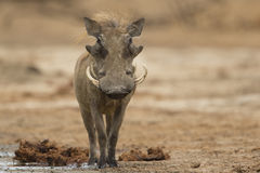 Męski Pospolity Warthog patrzeje kamerę Zdjęcia Royalty Free