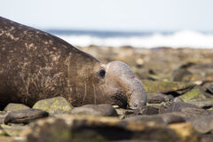 Męski Południowy słoń foki zakończenie up Profiluje (Mirounga leonina) Fotografia Stock
