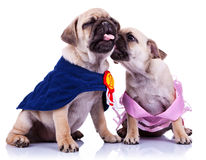 mästarehundar som kysser princessmopsvalpen Royaltyfria Bilder