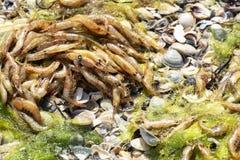 Mszalna śmierć garneli unosić się morze Ekologiczny catastrophy obrazy stock