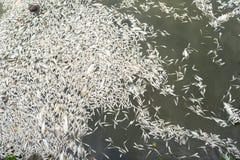 Mszalna śmierć rybi unosić się na zanieczyszczającej jezioro wodzie obrazy stock