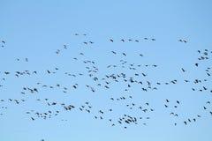 Mszalna wiosny migracja gąski Bardzo wielki kierdel lata przeciw niebieskiemu niebu Wielcy stać na czele gąski Anser albifrons zdjęcie royalty free