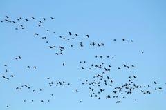 Mszalna wiosny migracja gąski Bardzo wielki kierdel lata przeciw niebieskiemu niebu Wielcy stać na czele gąski Anser albifrons zdjęcie stock