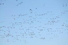 Mszalna wiosny migracja gąski Bardzo wielki kierdel lata przeciw niebieskiemu niebu Wielcy stać na czele gąski Anser albifrons fotografia stock