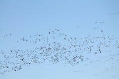 Mszalna wiosny migracja gąski Bardzo wielki kierdel lata przeciw niebieskiemu niebu Wielcy stać na czele gąski Anser albifrons obraz stock