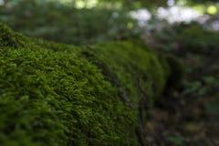 Mszysty drzewo w lesie Fotografia Stock