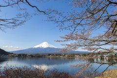 Mt富士和樱花 库存照片