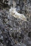 Mt Ребенк козы на утесе Стоковая Фотография RF