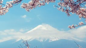 Mt 富士和摇摆在风的樱花 影视素材