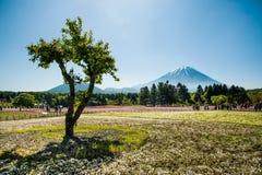 Mt 富士和树和Shibazakura 图库摄影