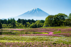 Mt 富士和Shibazakura 库存图片