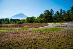 Mt 富士和Shibazakura 库存照片