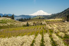 Mt Adams, apple orchards, Oregon Stock Photo