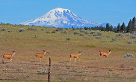 Mt Adems & 4 deer. This is My Adems with 4 deer Stock Images