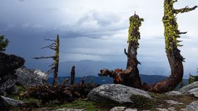 Mt. Ashland summit during a thunder storm. This image is from the summit of mount ashland during a thunder storm. These trees grow in this way from all the wind stock images