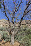 Mt Atlas Mastic Tree Royalty Free Stock Photo