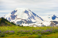Mt. Baker, Washington, USA. The wildflowers along the Skyline Divide trail are spectacular during the month of August. Mt. Baker is located in the Pacific Royalty Free Stock Photo