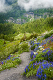 Mt. Baker Wildflowers. Beautiful wildflowers such as yellow asters, purple lupine, and Indian paintbrush, dominate the landscape on the Heliotrope Ridge hike Stock Photo