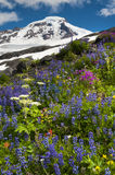 Mt. Baker Wildflowers. Indian Paintbrush, Yellow Aster, and blue Lupine, are just some of the wildflowers that carpet the area around Mt. Baker, Washington Royalty Free Stock Photography