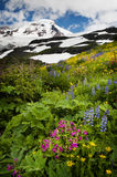 Mt. Baker Wildflowers. Indian Paintbrush, Yellow Aster, and blue Lupine, are just some of the wildflowers that carpet the area around Mt. Baker, Washington Stock Images