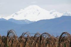 Mt. Baker and Winter Raspberries Stock Image