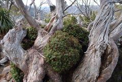 Mt Campo Forrest alpino Immagini Stock