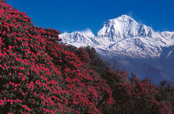 Mt. Dhaulagiri From Poon Hill, Ghorepani, Nepal. Mt. Dhaulagiri and rhododendron forest as seen from Poon Hill, Ghorepani, Nepal stock image