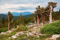 Mt. Evans Bristlecone Pines Stock Photos