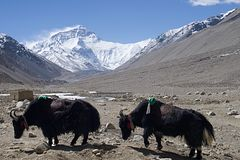 Mt Everest de camp de base tibétain avec des yaks Photographie stock