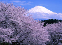 Mt fuji-181-1. Cherry blossoms with Mount Fuji Royalty Free Stock Images