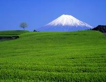 Mt,fuji-208. Green tea fields and Mount Fuji Stock Images