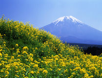 Mt fuji-236. The rape blossoms are in fuii blossom on soring and Mt, fuji Stock Images