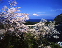 Mt fuji-301. Beautiful cherry blossoms with snow-capped Mount Fuji from IZU Stock Photography