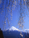 Mt fuji-370. The weeping cherry blossoms with Mount Fuji Royalty Free Stock Image