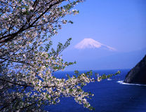 Mt fuji-380. Beautifu lwhite cherry blossoms with snow-capped Mount Fuji Stock Images