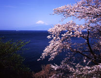 Mt fuji-383. Cherry blossoms with Mount Fuji Royalty Free Stock Image