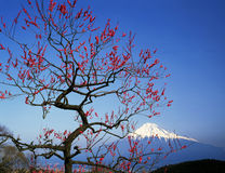 Mt fuji-385. Mount Fuji with red plum blossoms Royalty Free Stock Image