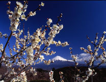 Mt fuji-394. Mount Fuji with white plum blossoms Stock Photography