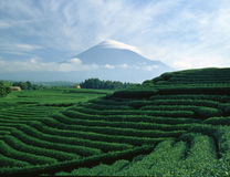 Mt fuji-407. Terraced green tea fields with snow-capped Mount Fuji Stock Photography
