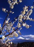 Mt fuji-409. The white Japanese apricot blossom and Mt fuji Royalty Free Stock Image