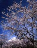 Mt fuji-411. Cherry full blossoms with Mount Fuji Stock Photo