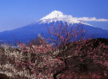 Mt fuji-415. The white and red Japanese apricot blossom and Mt fuji Stock Image